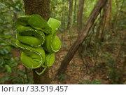 Green Python (Morelia viridis) in the rain forest of Iron Range National Park. Cape York Peninsula Queensland, Australia. Стоковое фото, фотограф Tim  Laman / Nature Picture Library / Фотобанк Лори