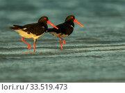 Pied Oystercatcher (Haematopus longirostris) pair, Crab Island, Torres Strait Islands, Queensland, Australia. Стоковое фото, фотограф Tim  Laman / Nature Picture Library / Фотобанк Лори