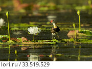 Купить «Comb-crested Jacana (Irediparra gallinacea) adult transporting young under his wings among Giant Water Lilies (Nymphaea gigantea) in billabong (pond) Cape York Peninsula, Queensland, Australia.», фото № 33519529, снято 13 июля 2020 г. (c) Nature Picture Library / Фотобанк Лори