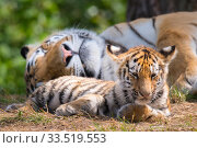 Купить «Siberian tiger (Panthera tigris altaica) female and cub, age 3 months, resting, Captive», фото № 33519553, снято 4 июня 2020 г. (c) Nature Picture Library / Фотобанк Лори