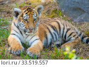 Siberian tiger (Panthera tigris altaica) cub, age 3 months, captive. Стоковое фото, фотограф Edwin Giesbers / Nature Picture Library / Фотобанк Лори