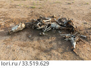 Burferedo, Somali Region, Ethiopia - Animal carcasses (2019 год). Редакционное фото, агентство Caro Photoagency / Фотобанк Лори