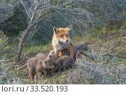Red fox (Vulpes vulpes) cubs age five weeks, female with suckling cubs, the Netherlands. Стоковое фото, фотограф Edwin Giesbers / Nature Picture Library / Фотобанк Лори