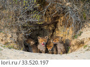 Red fox (Vulpes vulpes) cubs age five weeks, at den in sand dunes, the Netherlands. Стоковое фото, фотограф Edwin Giesbers / Nature Picture Library / Фотобанк Лори