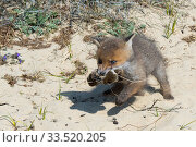 Купить «Red fox (Vulpes vulpes) cub, age five weeks, carrying mouse caught by its mother, the Netherlands.», фото № 33520205, снято 4 июня 2020 г. (c) Nature Picture Library / Фотобанк Лори