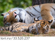 Купить «RF - Siberian tiger (Panthera tigris altaica) female and cub, age 3 months, resting, Captive. (This image may be licensed either as rights managed or royalty free.)», фото № 33520237, снято 3 июня 2020 г. (c) Nature Picture Library / Фотобанк Лори