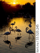 RF- Greater flamingo (Phoenicopterus roseus) flock silhouetted at sunset, Pont Du Gau Park, Camargue, France. (This image may be licensed either as rights managed or royalty free.) Стоковое фото, фотограф Edwin Giesbers / Nature Picture Library / Фотобанк Лори
