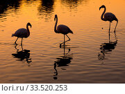 RF- Greater flamingo (Phoenicopterus roseus) group of three silhouetted at sunset, Pont Du Gau Park, Camargue, France. (This image may be licensed either as rights managed or royalty free.) Стоковое фото, фотограф Edwin Giesbers / Nature Picture Library / Фотобанк Лори