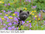 RF - Arctic fox cub (Alopex lagopus) amongst summer flowers, Hornvik, Westfjords, Iceland. July (This image may be licensed either as rights managed or royalty free.) Стоковое фото, фотограф Terry  Whittaker / Nature Picture Library / Фотобанк Лори