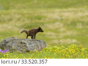 Adult female Arctic fox (Alopex lagopus) scent marking, defecating on rock, Hornvik, Westfjords, Iceland. July. Стоковое фото, фотограф Terry  Whittaker / Nature Picture Library / Фотобанк Лори