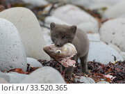 Arctic fox cub (Alopex lagopus) feeding on scavenged cod carcass. Hornvik, Hornstrandir, Westfjords, Iceland. July. Стоковое фото, фотограф Terry  Whittaker / Nature Picture Library / Фотобанк Лори
