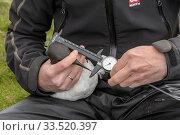 Купить «Scientist measuring a Common guillemot (Uria aalge). Staff from Natturustofa Noroausturlands (Northeast Iceland Nature Research Centre) catch seabirds...», фото № 33520397, снято 2 июня 2020 г. (c) Nature Picture Library / Фотобанк Лори
