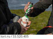 Купить «Marking a Kittiwake (Rissa tridactyla) captured to replace its geolocator with green dye so it won't be recaptured that season. Staff from Natturustofa Noroausturlands (Northeast Iceland Nature Research Centre) catch seabirds at Skoruvikurbjarg bird cliffs on Langanes Peninsula, Iceland to fit and replace geolocators to monitor the bird's movements. Iceland, June 2017.», фото № 33520405, снято 2 июня 2020 г. (c) Nature Picture Library / Фотобанк Лори