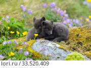 Arctic fox cubs (Alopex lagopus) amongst summer flowers Hornvik, Hornstrandir, Westfjords, Iceland. July. Стоковое фото, фотограф Terry  Whittaker / Nature Picture Library / Фотобанк Лори