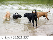Купить «Berlin, Germany, dogs playing with each other in the water», фото № 33521337, снято 10 мая 2018 г. (c) Caro Photoagency / Фотобанк Лори