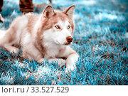 Alaskan Malamute lies at the feet of the owner. Стоковое фото, фотограф Акиньшин Владимир / Фотобанк Лори