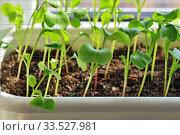 Radish seedlings close up growing on the windowsill. Стоковое фото, фотограф Сергей Трофименко / Фотобанк Лори