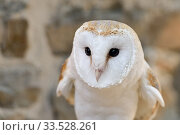 Купить «Barn Owl / Schleiereule ( Tyto alba ), Common Barn Owl, watching, hunting, just before take off, white variant, frontal view, Western Europe.», фото № 33528261, снято 24 августа 2019 г. (c) age Fotostock / Фотобанк Лори