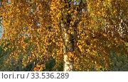 Купить «Листва березы золотой осенью», видеоролик № 33536289, снято 21 октября 2017 г. (c) Виктор Карасев / Фотобанк Лори