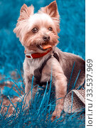Yorkshire terrier walks with his mistress on the grass. Стоковое фото, фотограф Акиньшин Владимир / Фотобанк Лори
