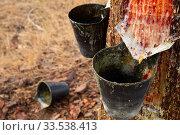 Купить «Image of extraction of resin in a pine forest at sunny day», фото № 33538413, снято 27 мая 2020 г. (c) Яков Филимонов / Фотобанк Лори