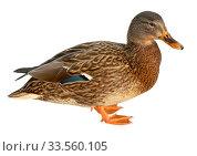Mallard Duck Closeup of drake, Female Mallard. isolated on white background. Стоковое фото, фотограф Наталья Аксёнова / Фотобанк Лори