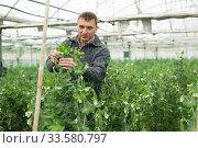 Farmer controlling growth of peas in hothouse. Стоковое фото, фотограф Яков Филимонов / Фотобанк Лори
