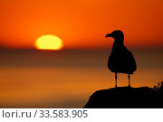 Great black-backed gull (Larus marinus) silhouette against sunset, Saltee Islands, Co. Wexford, Ireland, June. Стоковое фото, фотограф Guy Edwardes / Nature Picture Library / Фотобанк Лори