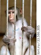 Купить «Monkey in a cage. Rhesus Macaque - Macaca mulatta», фото № 33586305, снято 16 июня 2019 г. (c) Евгений Ткачёв / Фотобанк Лори