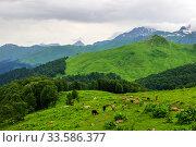 Купить «Cows graze on mountainside on summer day», фото № 33586377, снято 26 июня 2019 г. (c) Евгений Ткачёв / Фотобанк Лори