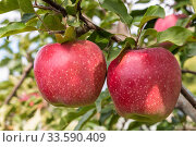 In the garden two red ripe apples hang on a branch of an apple tree summer day closeup. Стоковое фото, фотограф Наталья Волкова / Фотобанк Лори