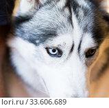 Купить «Siberian Husky Portrait of thoroughbred Siberian Husky dog», фото № 33606689, снято 16 июля 2017 г. (c) Татьяна Яцевич / Фотобанк Лори