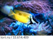 Лисица желтая  Siganus vulpinus. Морская рыба. Стоковое фото, фотограф Татьяна Белова / Фотобанк Лори