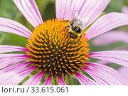 Купить «Coneflower / Rudbeckia purpurea 'Magnus'.», фото № 33615061, снято 6 августа 2013 г. (c) age Fotostock / Фотобанк Лори