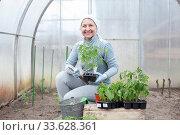 woman planting tomato seedlings. Стоковое фото, фотограф Дарья Филимонова / Фотобанк Лори