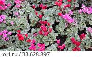 Купить «Persian cyclamen blossoming. Colorful plantation of flowers cultivated in pots in greenhouse», видеоролик № 33628897, снято 8 ноября 2019 г. (c) Яков Филимонов / Фотобанк Лори