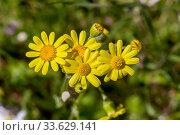 Купить «The plant (Senecio leucanthemifolius Poir.) grows close-up in spring», фото № 33629141, снято 11 марта 2020 г. (c) Татьяна Ляпи / Фотобанк Лори