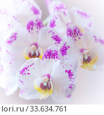 Blooming orchid phalaenopsis flowers of white and lilac color. Tender light greeting card poster, floral background in pastel tone. Стоковое фото, фотограф Светлана Евграфова / Фотобанк Лори