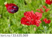 Купить «Ярко-красный махровый мак в саду крупным планом», фото № 33635069, снято 15 июля 2019 г. (c) Елена Коромыслова / Фотобанк Лори