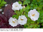 Цветущая роза многоцветковая (Rosa multiflora Thunb.). Крупный план. Стоковое фото, фотограф Ирина Борсученко / Фотобанк Лори