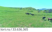 Купить «Flight over wild horses herd on mountain meadow. Summer mountains wild nature. Freedom ecology concept.», видеоролик № 33636365, снято 27 июля 2018 г. (c) Александр Маркин / Фотобанк Лори