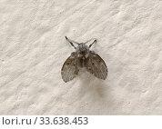 Купить «Бабочница обыкновенная или дренажная муха», эксклюзивное фото № 33638453, снято 2 октября 2019 г. (c) Dmitry29 / Фотобанк Лори