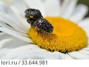 Oxythyrea funesta copulation on a ox-eye daisy. Trauer-Rosenkaefer ( Oxythyrea funesta )auf einer Margerite. Стоковое фото, фотограф Zoonar.com/Karin Jähne / easy Fotostock / Фотобанк Лори