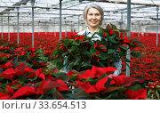 Satisfied woman florist with poinsettia. Стоковое фото, фотограф Яков Филимонов / Фотобанк Лори