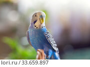 Купить «A beautiful wavy parrot of blue color sits without a cage. Tropical birds at home», фото № 33659897, снято 21 апреля 2020 г. (c) Екатерина Кузнецова / Фотобанк Лори