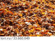 Купить «Fallen maple leaves.», фото № 33660049, снято 19 ноября 2019 г. (c) Елена Блохина / Фотобанк Лори