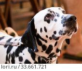Купить «Portrait of thoroughbred Dalmatian dog», фото № 33661721, снято 16 июля 2017 г. (c) Татьяна Яцевич / Фотобанк Лори
