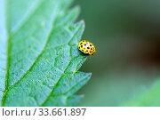 22-spot ladybird (Psyllobora vigintiduopunctata) on green leaf. Стоковое фото, фотограф Евгений Ткачёв / Фотобанк Лори