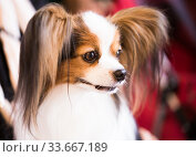 Купить «beautiful fluffy continental toy spaniel falen dog», фото № 33667189, снято 16 июля 2017 г. (c) Татьяна Яцевич / Фотобанк Лори