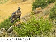 Golden Eagle, Aquila chrysaetos, Ã. guila Real, Castilla y León, Spain, Europe. Стоковое фото, фотограф Alberto Carrera / age Fotostock / Фотобанк Лори